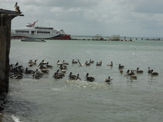 Pelicans, water taxi in background