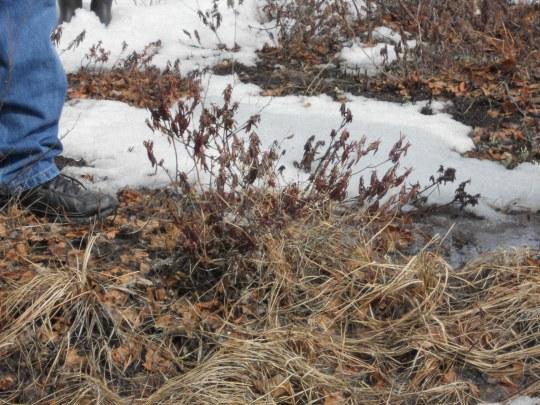 Labrador bush