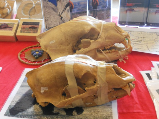 Grizzly and black bear skulls