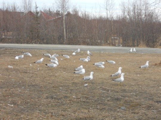 Gulls by the lake